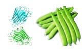 Phaseolus vulgaris (PHA-E+L)